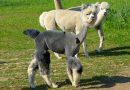 Ką veikti? Aplankyti alpakų fermą prie Šiaulių