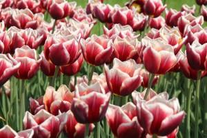 tulpes2 (1)